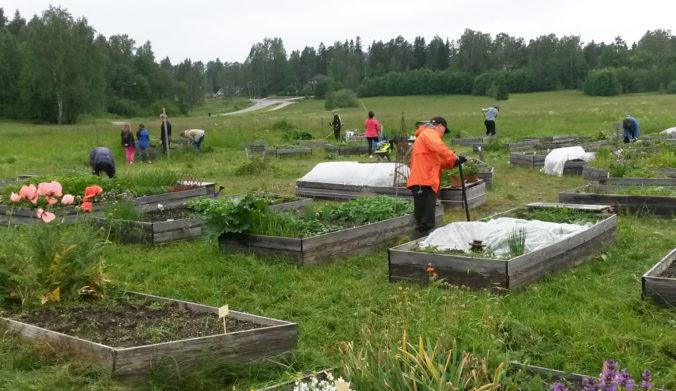 Suurpelto-seuran viljelylavoja Lillhemtin puistossa